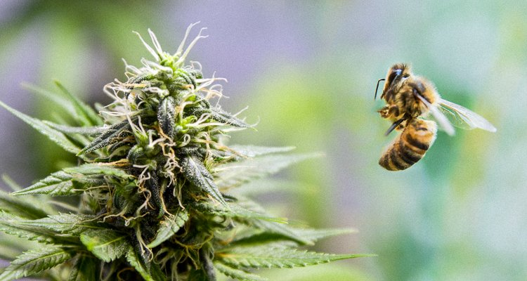 Bees Absolutely Love Cannabis and It Could Help Restore Their Populations